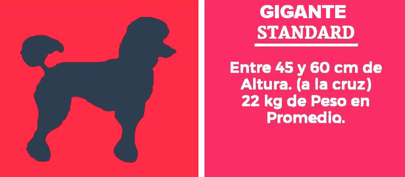 El caniche gigante. Sus medidas. Estándar. Tipología del poodle Estándar gigante. Peso y medidas del caniche más grande de todos.