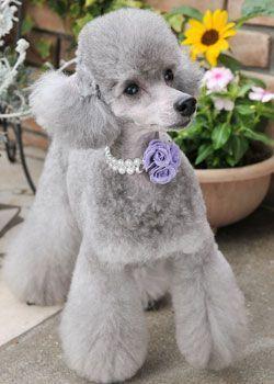 caniche gris, color diluido. Caniche toy gris