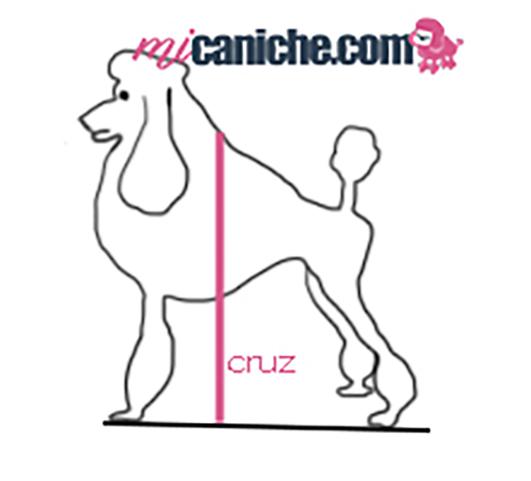 Gráfico explicativo sobre cómo medir un caniche. Qué es cruz de altura de un caniche. Medir altura en cruz.