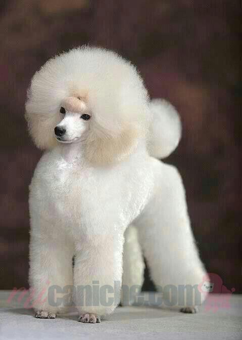 Caniche blanco algodón