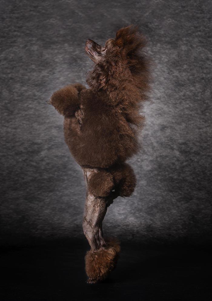 Caniche o poodel marrón color chocolate mediano o enano, puro o de raza