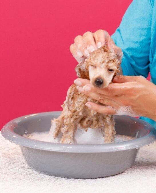 Cómo bañar un caniche en casa