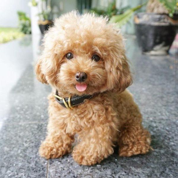 cachorro caniche-toy