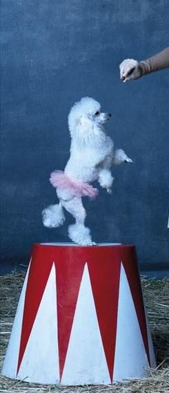 caniche mediano en un ambiente de  circo Estos perritos caniche medianos  fueron muy elegidos en los circos  de todos los tiempos