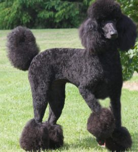 caniche_poddel_negro_black_gigante