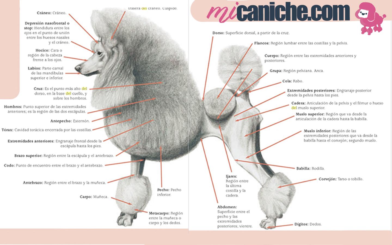 Caniche puro gráfico ejemplificativo con las características físicas de la raza, sus proporciones, pelaje, cabeza, línea dorsal, altura y peso según su tipo. Poodle y french poodle