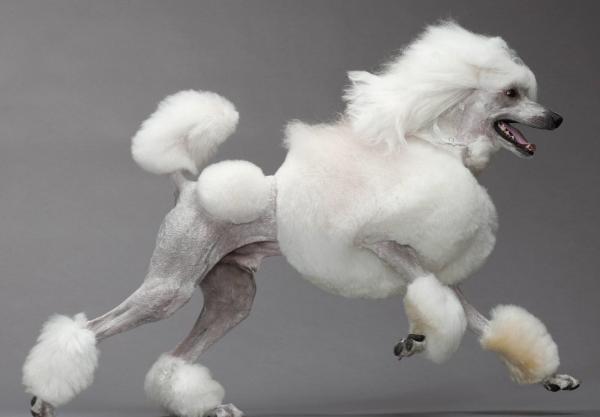 Corte león para un caniche blanco puro con piel plateada. Estándar poodle puro. Caniche gigante o caniche grande puro color blanco