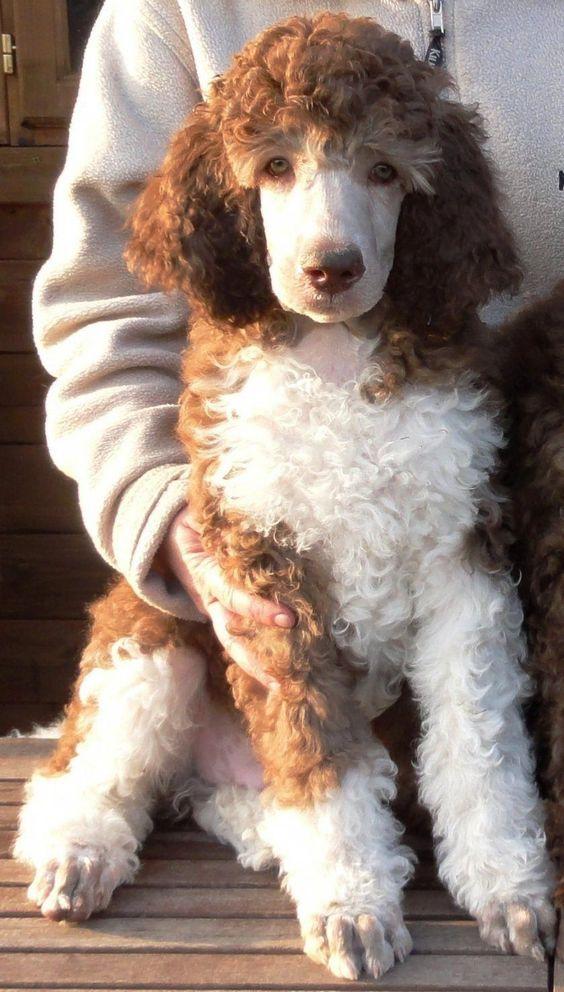 caniche arlequin caniche bicolor. Tamañp poodle mediano arlequin.  Cómo reconocer un cancihe arlequín?