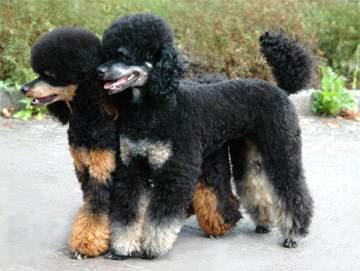 phantom-poodle-dogs caniches color phantom o caniches fantasma. Bicolor. Base negra