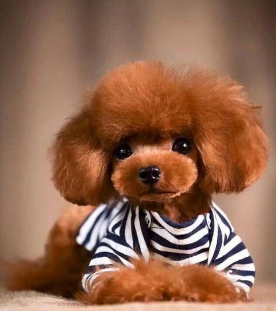Perro caniche Toy para comprar