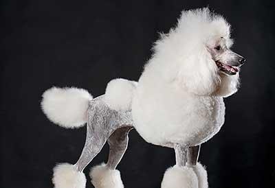 Caniche blanco, poodle blanco puro con corte reglamentario y piel color plateada. Caniche de raza blanco de piel plateada