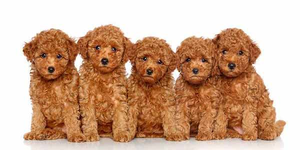 Los caniches o poodles