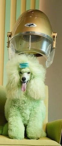 Caniche gigante en peluquería canina