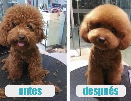 Antes y después de pasar por una peluquería canina de Buenos Aires, Argentina. Corte de pelo para caniche toy estilo oriental.