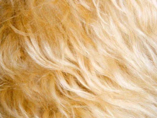 zoom al pelo de un caniche