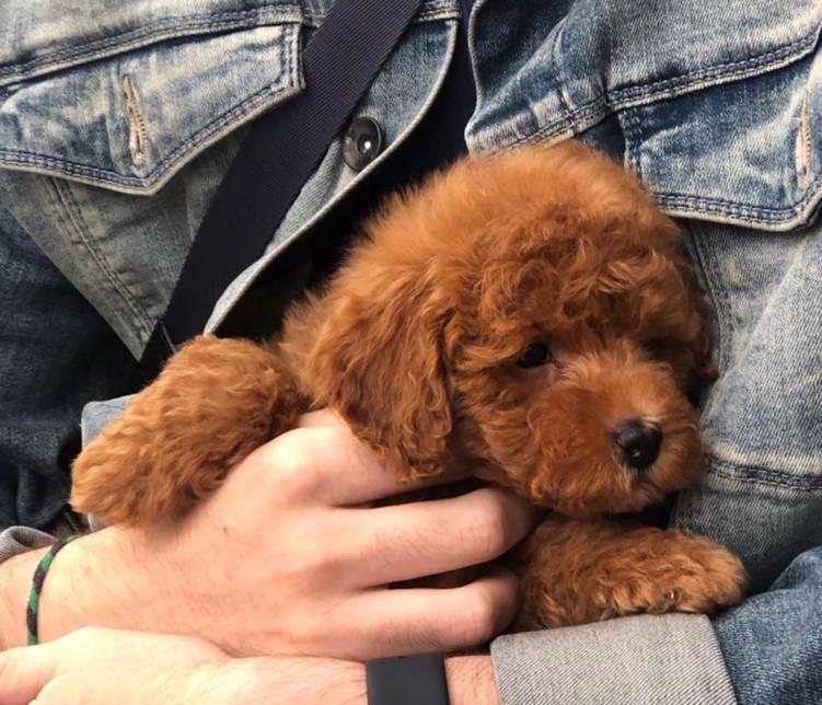 Un adorable cachorro caniche toy rojo de Namaste Forever. Criadero de caniches toy en Galicia, España