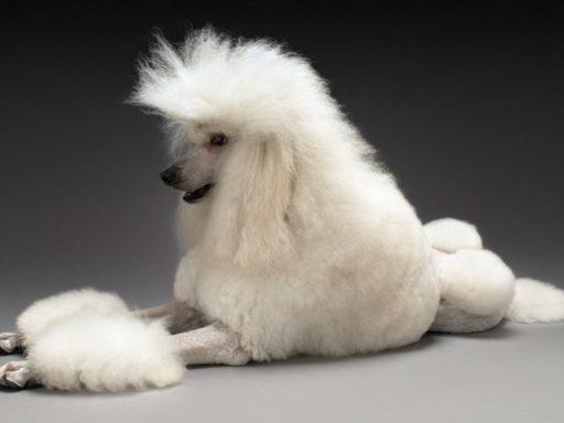 El caniche gigante tiene un porte sofisticado y glamoroso. Caniche grande color blanco