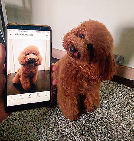 Caniche rojo se toma fotos con celular para crear su arte de fotografía digital