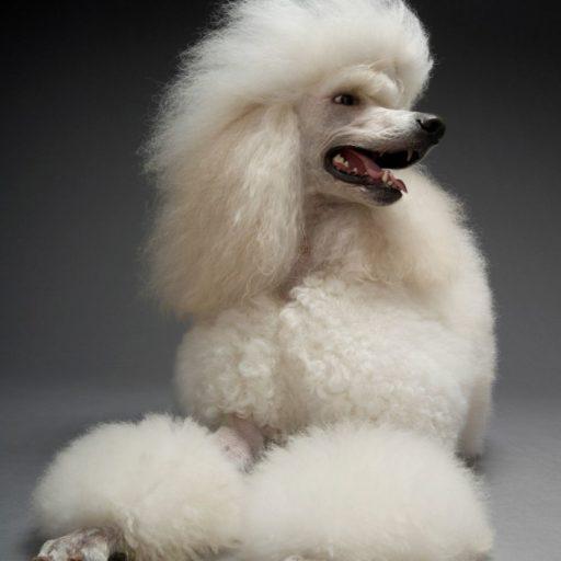 Caniche grande , el caniche gigante y sus características. Un ejemplar de caniche estándar grande color blanco con bonito corte de pelo