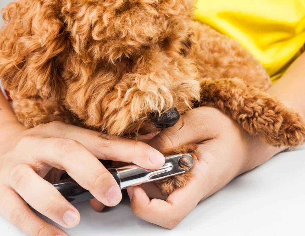 Otra forma de mantener limpios los pies de tu perro es con un correcto mantenimiento de sus uñas o garras. Cómo lavar las patas de tu perro caniche de forma correcta.
