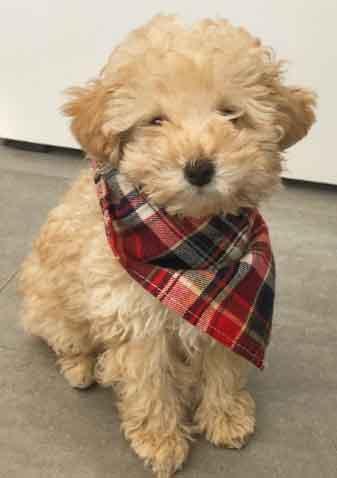 Caniche Apricot -  Poodle toy - cachorro sentado. Bonoto cachorro de french poodle color beige duranzo apricot marrón claro