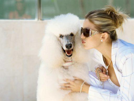 Caniche gigante puede ser un gran compañero e incluso una mascota para exhibir con gran orgullo, debido a su gran porte y elegancia. Caniche grande