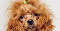 Un caniche de pelo ensortijado, tamaño mediano. Color rojo