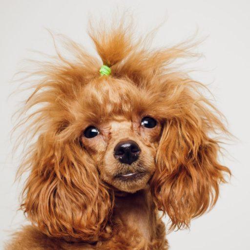 Un caniche de pelo ensortijado, tamaño enano o miniatura. Mini poodle.  Color rojo