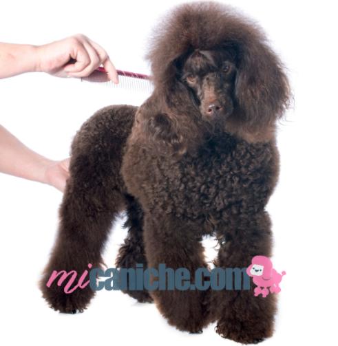Como cuidar el pelo de un caniche marrón o poodle toy café