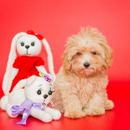 Un maltipoo apricot , muy adorable entre los muñecos, es uno más. Cachorro bonito y adorable