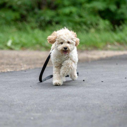 Maltipoo adulto corriendo. Un perro ágil y muy dócil.