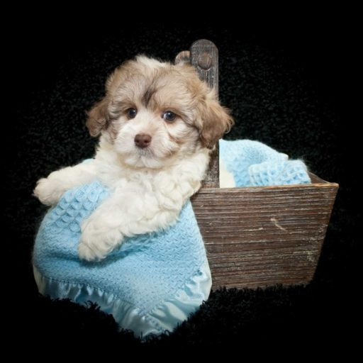 Un cachorro maltipoo adorable en una canasta.