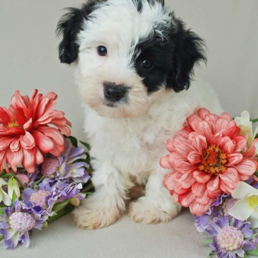 Un malti-poo o maltipoo bicolor, adorable , cachorro o bebé de caniche y maltes