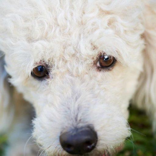 Las vacunas, son el mejor tratamiento para prevenir las enfermedades más comunes en los perros. Un caniche sano es un caniche feliz.