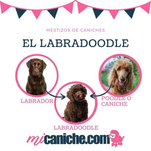 El Labradoodle. Perros mestizos de poodle y labrador.