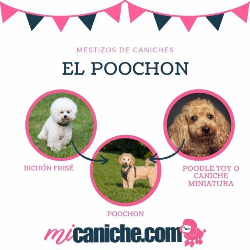 El Poochon o Bichpoo ❤ perros mestizos de caniches o poodles