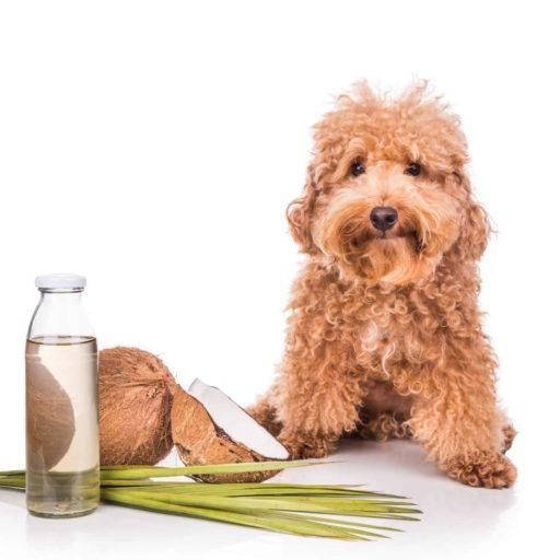 El aceite de coco es un repelente natural para perros contra pulgas y garrapatas.