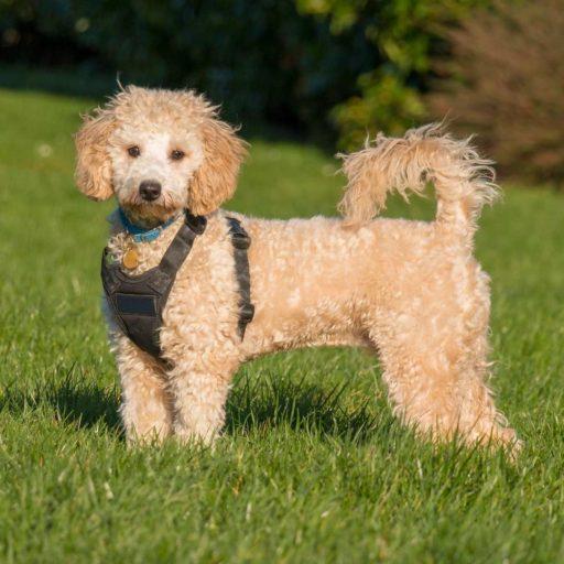 El Poochon o Bichpoo ❤ adorables perros mestizos de caniche o poodle
