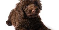 Labradoodle cachorro - perros mestizos de caniches o poodles. Adoptar perros mestizos
