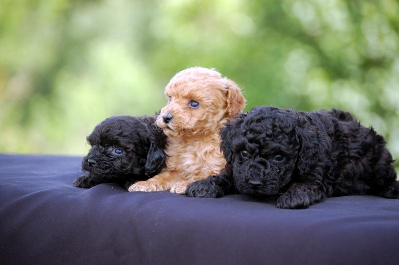 Tres cachorros caniche toy colores negro y apricot de Castillviejo. Cachorro caniches toy para comprar, criadero en España, en Burgos