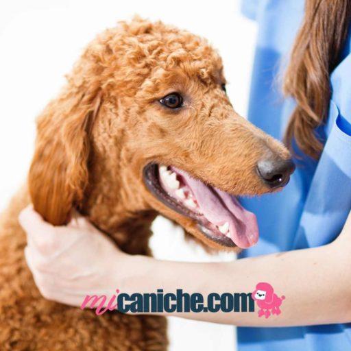 El veterinario sabrá decirte cuál es el mejor tratamiento antiparasitario externo para tu caniche.