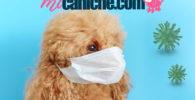 coronavirus canino en perros caniches. Cómo afecta esta enfermedad a un cachorro