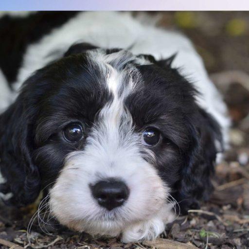 El cavapoo o cavoodle cachorro ❤ perros mestizos de caniche o poodle