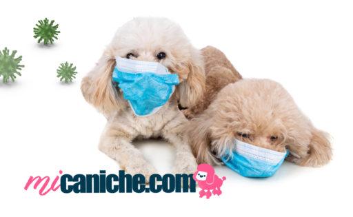 El coronavirus canino en perros caniches.