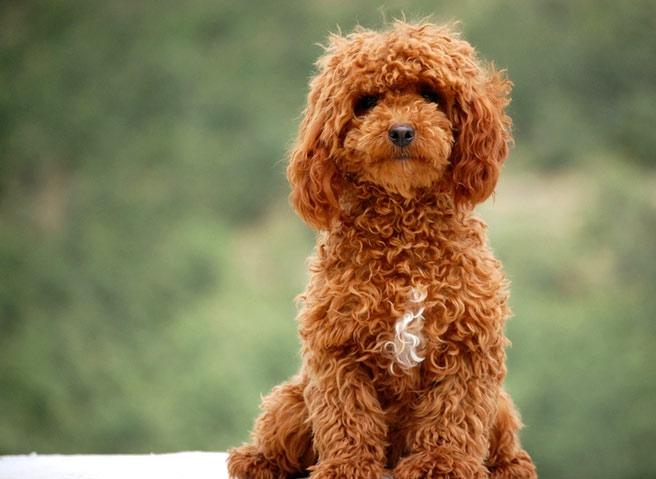 Comprar caniches toy apricot en burgos España. Compra caniches marrón claro o rojos  en España. Un caniche toy o poodle mini toy color rojo en Burgos España para comprar