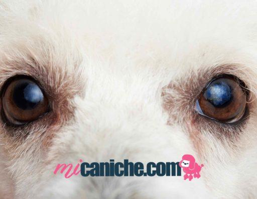 Las principales enfermedades oculares de un perro caniche. Ojos de un poodle. Salud de un caniche.