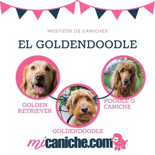 El Goldendoodle - Mestizos de caniche y golden retriever. Perros pequeños , grandes y medianos