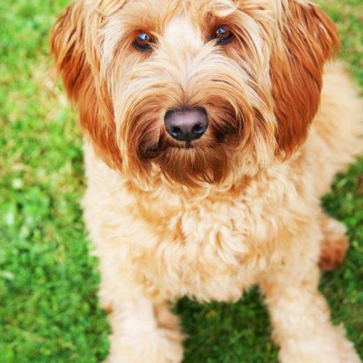 Un goldendoodle adulto adorable ❤ perros mestizos de caniche y golden retriever.
