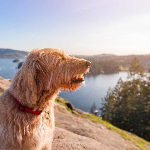 Labradoodle adulto de pelo liso ❤ perro mestizo de poodle y labrador
