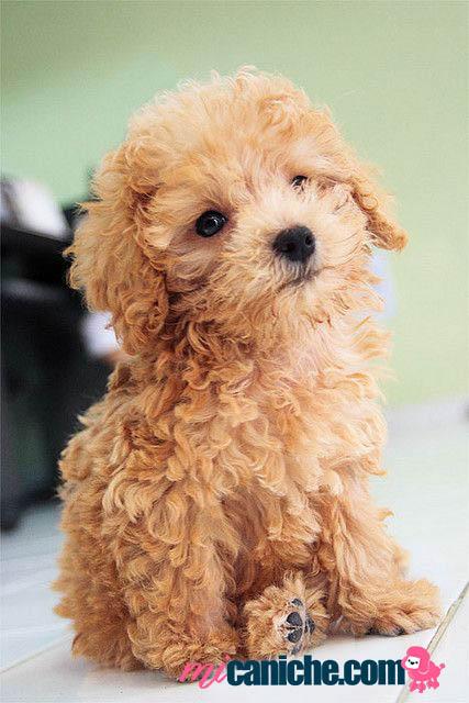 Un cachorro caniche toy en España ❤ Adorable ❤